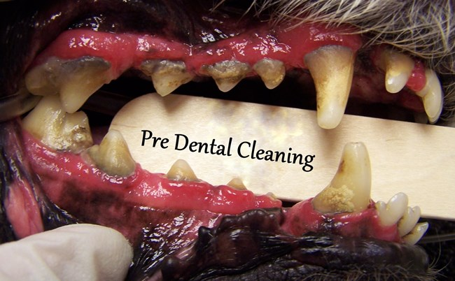 Example Pictures Of Dental Disease | Commonwealth Animal Hospital